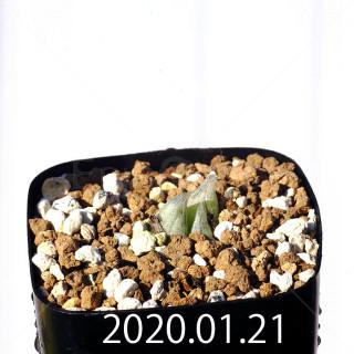 Bulbine mesembryanthemoides EQ651 Seedling 18085