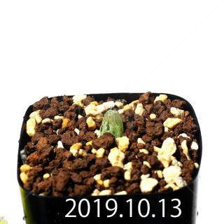 Bulbine mesembryanthemoides EQ651 Seedling 18086