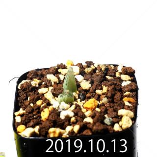 Bulbine mesembryanthemoides EQ651 Seedling 18088