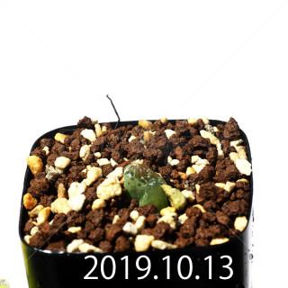 Bulbine mesembryanthemoides EQ651 Seedling 18089