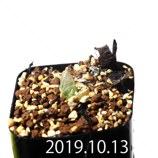 Bulbine mesembryanthemoides EQ651 Seedling 18091