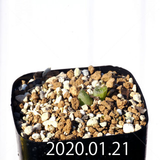 Bulbine mesembryanthemoides EQ651 Seedling 18092