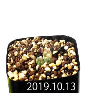 Bulbine mesembryanthemoides EQ651 Seedling 18093