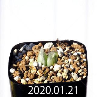 Bulbine mesembryanthemoides EQ651 Seedling 18094