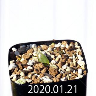 Bulbine mesembryanthemoides EQ651 Seedling 18099