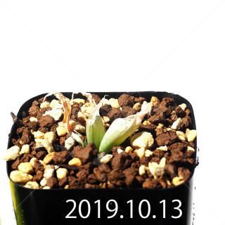 Bulbine mesembryanthemoides EQ651 Seedling 18104