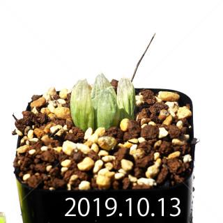 Bulbine mesembryanthemoides EQ651 Seedling 18116