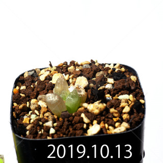 Bulbine mesembryanthemoides EQ651 Seedling 18120