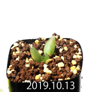 Bulbine mesembryanthemoides EQ651 Seedling 18125