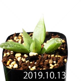 Bulbine mesembryanthemoides EQ651 Seedling 18137