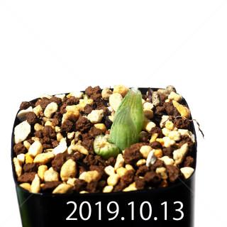 Bulbine mesembryanthemoides EQ651 Seedling 18140