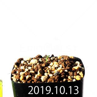 Albuca concordiana EQ97 Seedling 18147