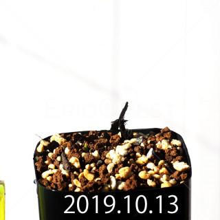 Albuca concordiana EQ97 Seedling 18152