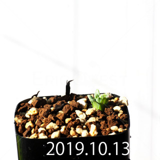 Albuca concordiana EQ97 Seedling 18155