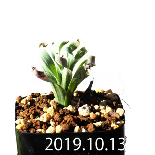 Albuca concordiana EQ97 Seedling 18163