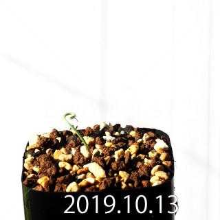 Albuca concordiana EQ97 Seedling 18165