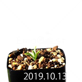 Albuca concordiana EQ97 Seedling 18172