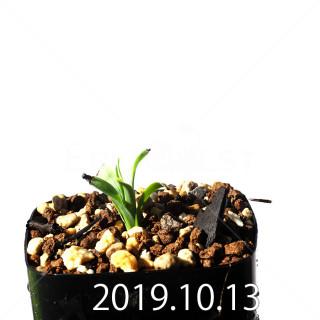 Albuca concordiana EQ97 Seedling 18174