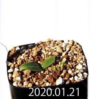Massonia jasminiflora EQ841 Seedling 18206