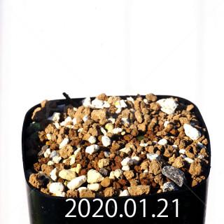 Massonia jasminiflora EQ841 Seedling 18207
