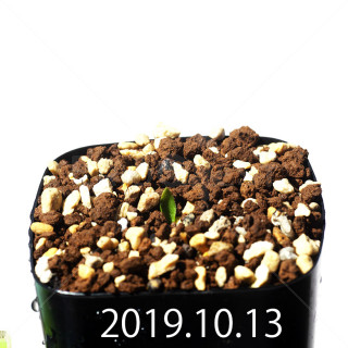 Massonia jasminiflora EQ841 Seedling 18208