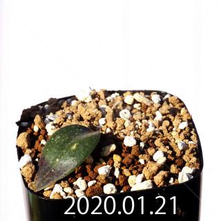 Massonia jasminiflora EQ841 Seedling 18209