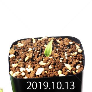 Massonia jasminiflora EQ841 Seedling 18210