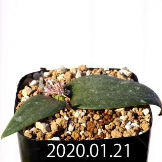 Massonia jasminiflora EQ841 Seedling 18216