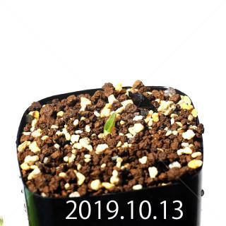 Massonia jasminiflora EQ841 Seedling 18219