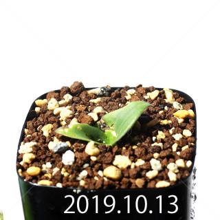 Massonia jasminiflora EQ841 Seedling 18222