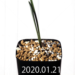 Daubenya marginata EQ843 Seedling 18378
