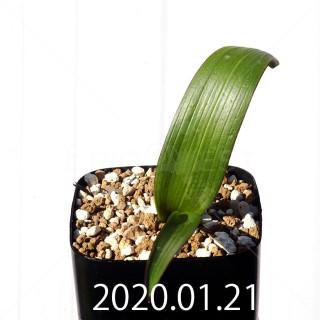 Daubenya marginata EQ843 Seedling 18381