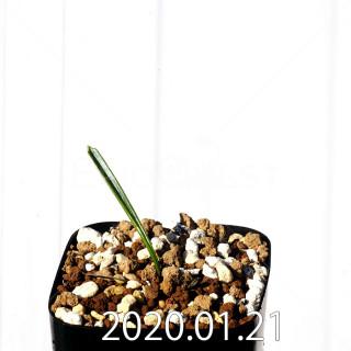 Daubenya marginata EQ843 Seedling 18390
