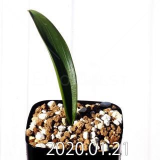 Daubenya marginata EQ843 Seedling 18392