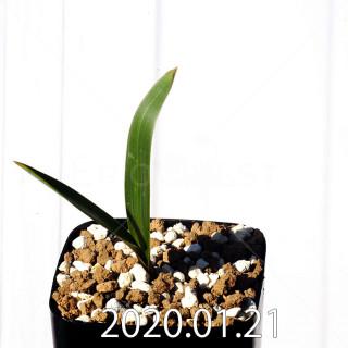 Daubenya marginata EQ843 Seedling 18395