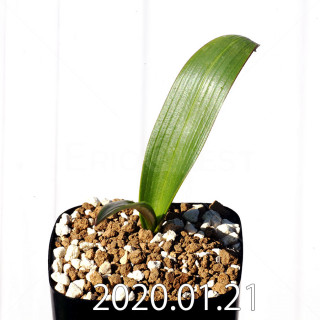 Daubenya marginata EQ843 Seedling 18403