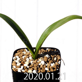 Daubenya marginata EQ843 Seedling 18407