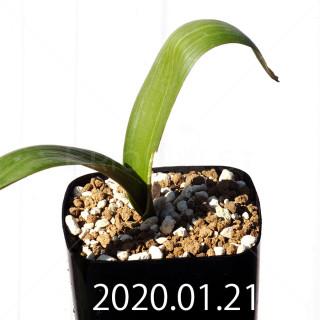 Daubenya marginata EQ843 Seedling 18411