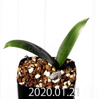Daubenya marginata EQ843 Seedling 18415