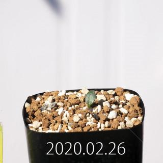 Eriospermum cervicorne MRO99 Seedling 18603