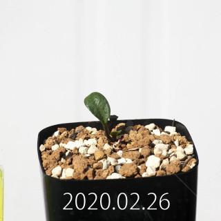 Eriospermum cervicorne MRO99 Seedling 18630