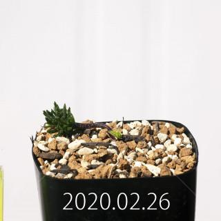 Eriospermum cervicorne MRO99 Seedling 18636