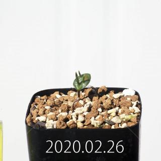 Eriospermum cervicorne MRO99 Seedling 18649