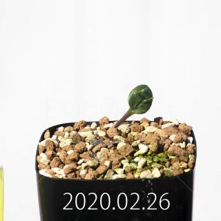 Eriospermum cervicorne MRO99 Seedling 18654