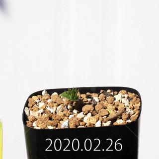 Eriospermum cervicorne MRO99 Seedling 18657