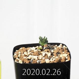 Eriospermum cervicorne MRO99 Seedling 18659