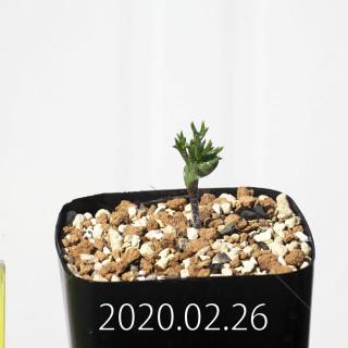 Eriospermum cervicorne MRO99 Seedling 18661