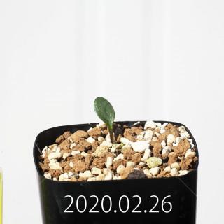 Eriospermum cervicorne MRO99 Seedling 18665