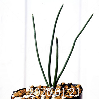 Ornithogalum multifolium EQ857 Offset 18807