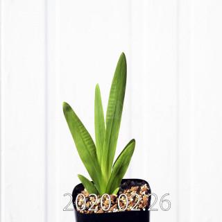 Freesia viridis ssp. crispifolia  Seedling 19009